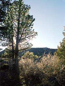 Mountain mahogany and Ponderosa Pine grow thickly in the draws