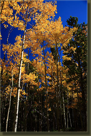 Fall aspen on the Estes Cone Trail