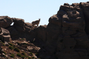 Mountain goat encounters,this one was the last of 3