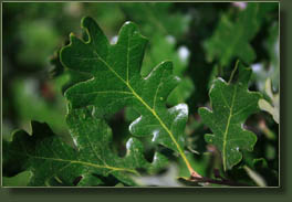 white oak leaves in Waldo Canyon