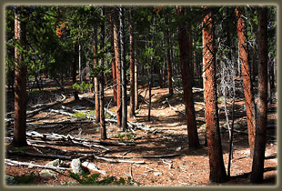 Miles of lodgepole pine